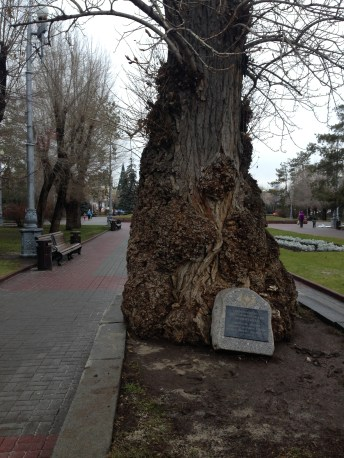 This poplar somehow survived the Battle of Stalingrad. Its trunk is marked by shrapnel.