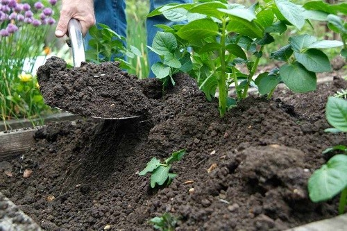 earth up potatoes - Grow your own Christmas Dinner next year