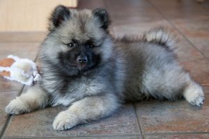 640px-Little_Puppy_Keeshond
