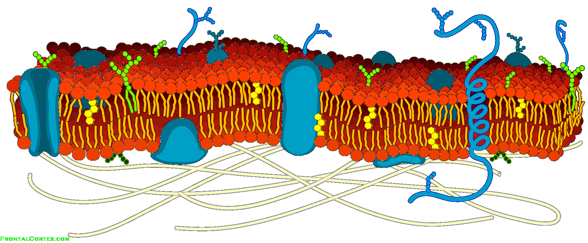 Image Cell Membrane Detailed Diagram B