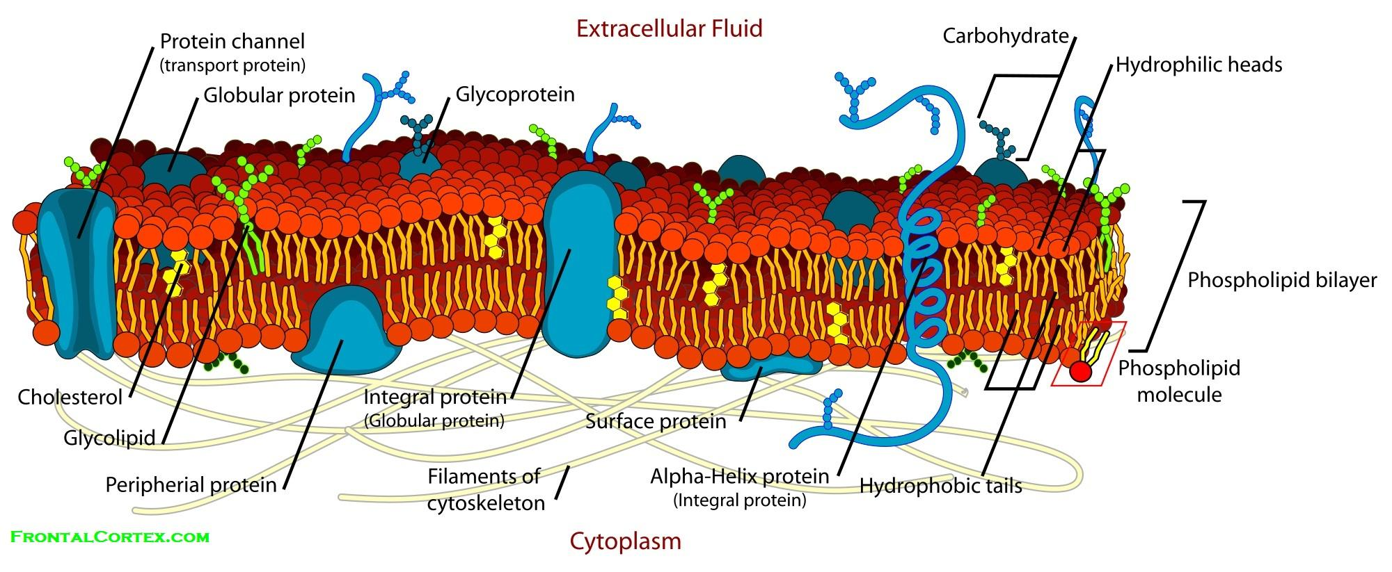 Cell Membrane Detailed Diagram Labeled