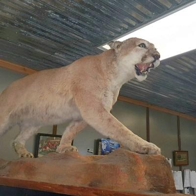 mountain lion taxidermy mount