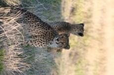 Cheetah at Ongava Tented Camp
