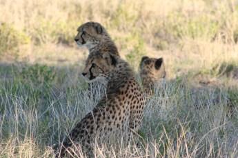 Cheetah at Ongava