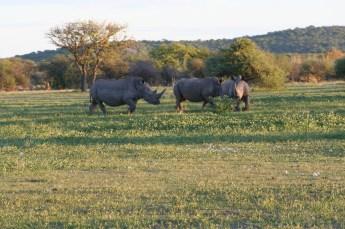 Rhino at Ongava