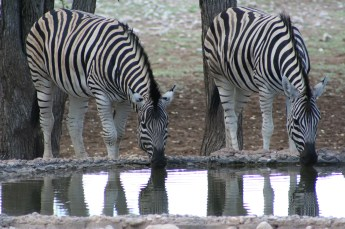 Zebra at a Water Hole in front of Ongava Tented Camp