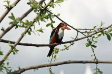 Kingfisher bird in Kashmir