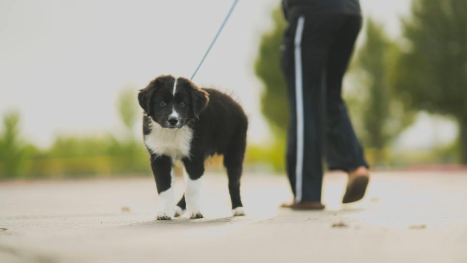 adorable puppy walking on a leash
