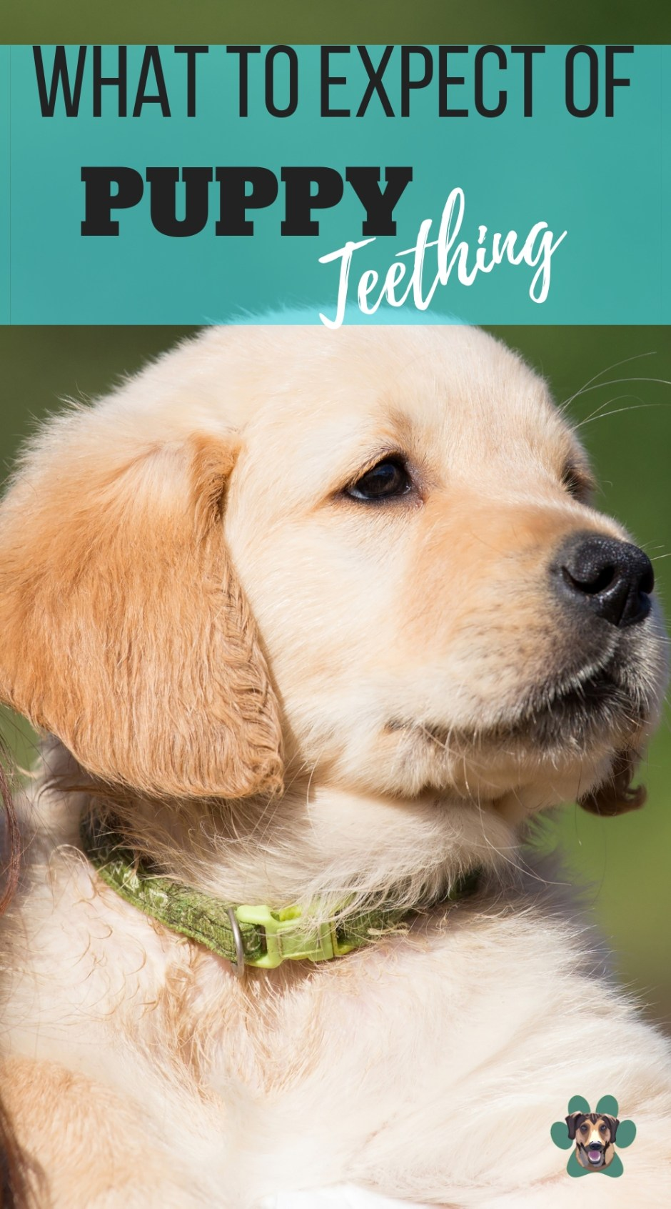 "Dogs explore the world mainly with their mouths and the teething stage has made it ""worse"". In this article, you will find out how to deal with your teething puppy, when it starts and stops teething."
