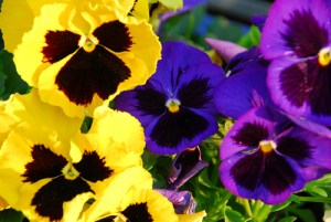 1-pansy