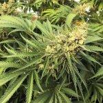 U.S. Prosecutor: Oregon Has Big Pot Overproduction Problem