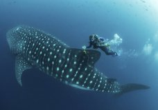 In this 2017 photo provided by Simon Pierce, Jonathan Green checks on a fin-mounted satellite tag on a whale shark in the Galapagos Islands area of Ecuador. Despite typically being bigger than a double-decker bus, the elusive whale shark has only tiny, almost useless teeth. It's also one of the least understood animals in the ocean. (simonjpierce.com via AP)
