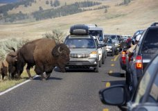 FILE - In this Aug. 3, 2016, file photo, a large bison blocks traffic as crowds of tourists take photos in the Lamar Valley of Yellowstone National Park, Wyo. The park's superintendent says he's being forced out for what appear to be punitive reasons following disagreements with the Trump administration over how many bison the park can sustain. (AP Photo/Matthew Brown, File)