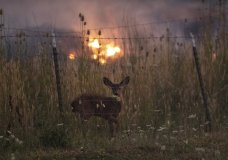 With fire burning on multiple sides, a deer stands behind a fence as the River Fire tears though Lakeport, Calif., on Tuesday, July 31, 2018. (AP Photo/Noah Berger)