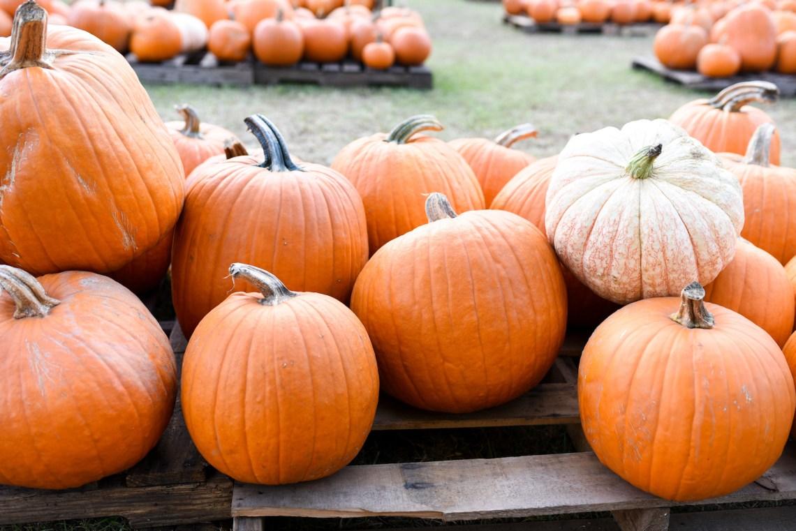 Pumpkin farm near me - Pumpkin patch ideas