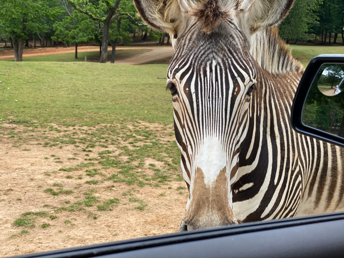 Lazy 5 Ranch - Drive Through Zoo in Mooresville NC - Things to Do With Kids- Day Trips and Family Travel in North Carolina zebra