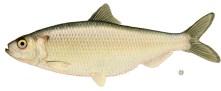 Single herring