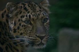 29.amur leopard