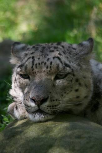 32.snow leopard