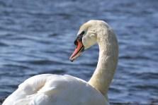 59.the third swan