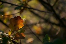 80.autumn leaf