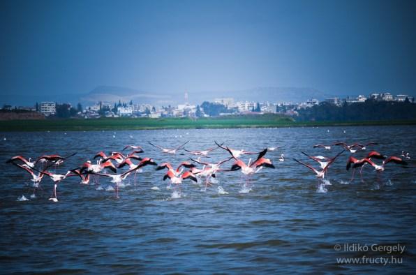 A sós tó flamingói