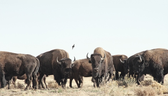 Photo of Buffalos - Herd Mentality