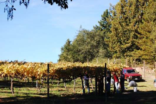 grape-harvest_1