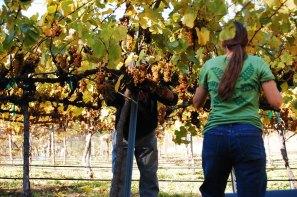 grape-harvest_4
