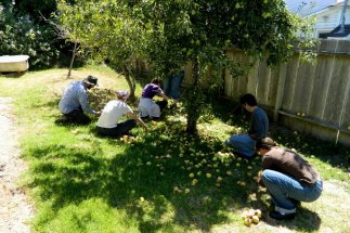 pear-harvest_1