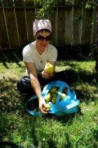 pear-harvest_2