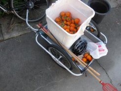 A smaller bike trailer with persimmons and fruit pickers.