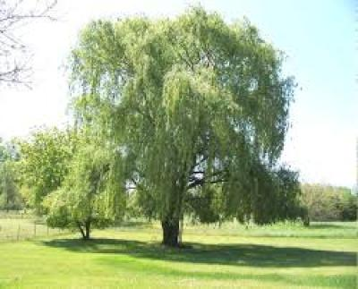 Weeping Willow in bloom
