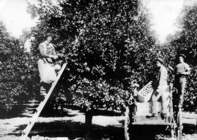 Three Men Working in the Orchard and Picking Fruit In An Orchard Holding Baskets Black and White Image