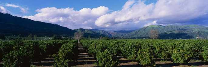 Orchard of Orange Trees