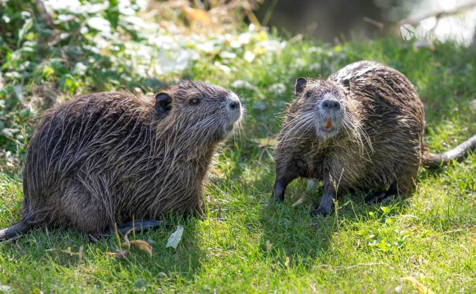 Animal Resembling a Groundhog in Grass Looking Wet