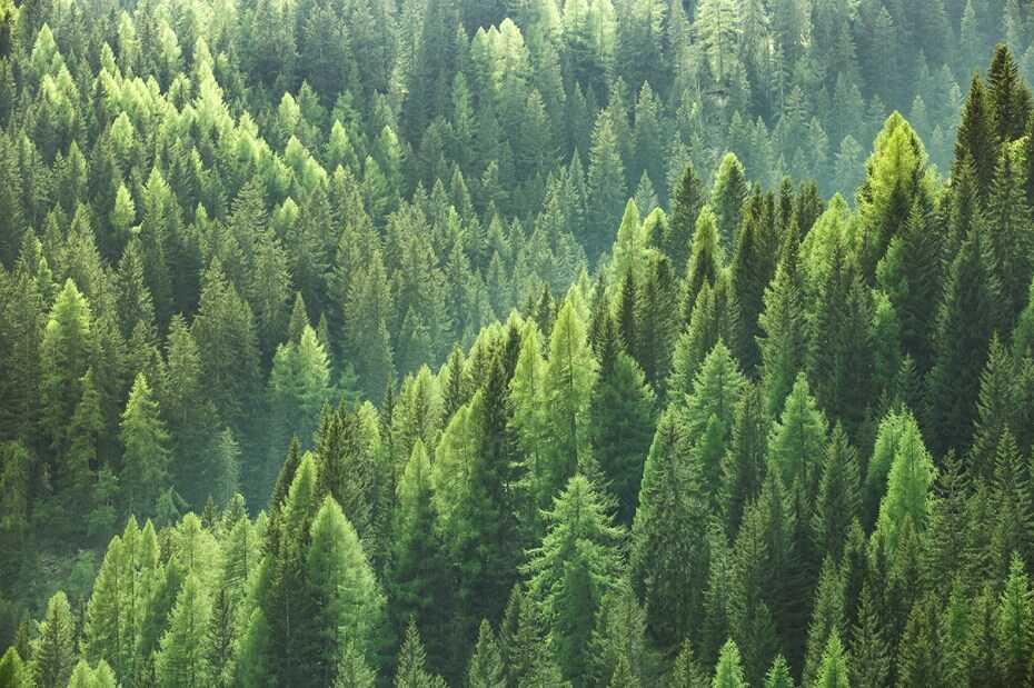 Mature Forest Evergreen Foliage Seen From Above