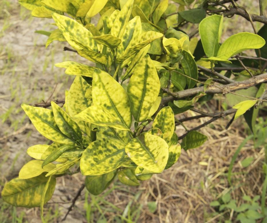Close-up Image of Greenery Huang Long Bing Citrus Greening Disease