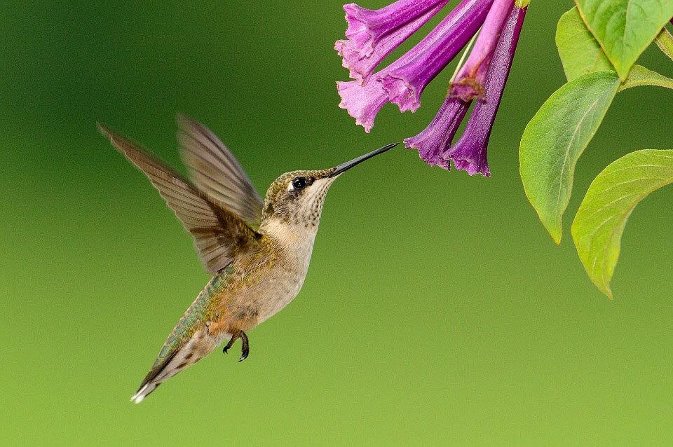A hummingbird feeding on a group of purple tubular flowers