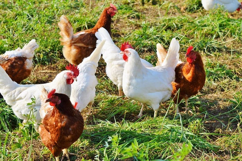 White and brown chickens outside on the grass