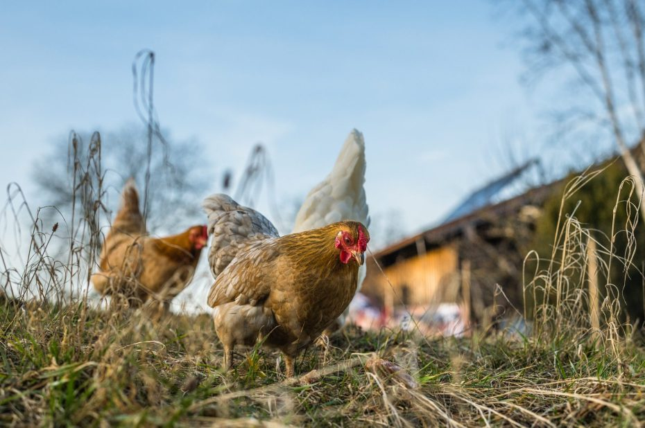 Chickens picking through the grass