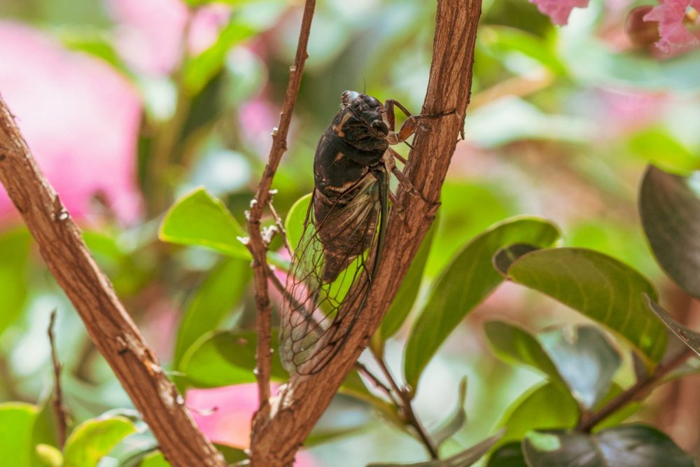 A cicada perched on a tree branch during the daytime