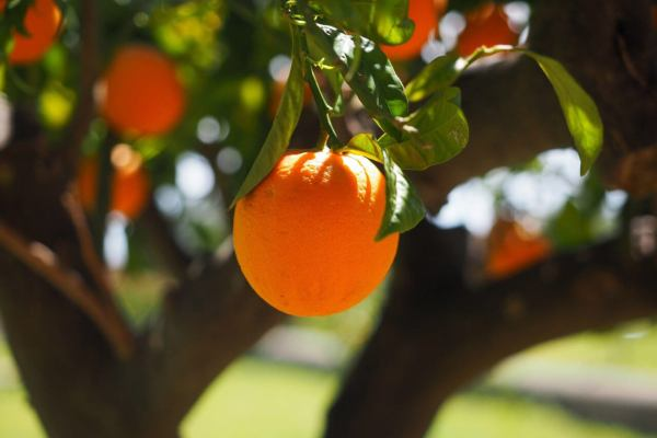 An orange hanging from an orange tree in the daytime