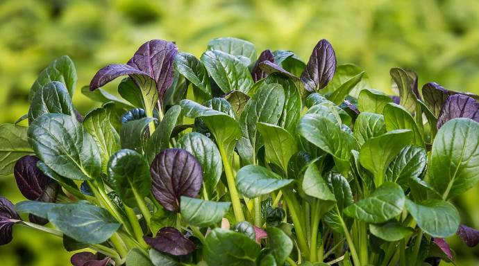 A bunch of purple-and-green Japanese spinach