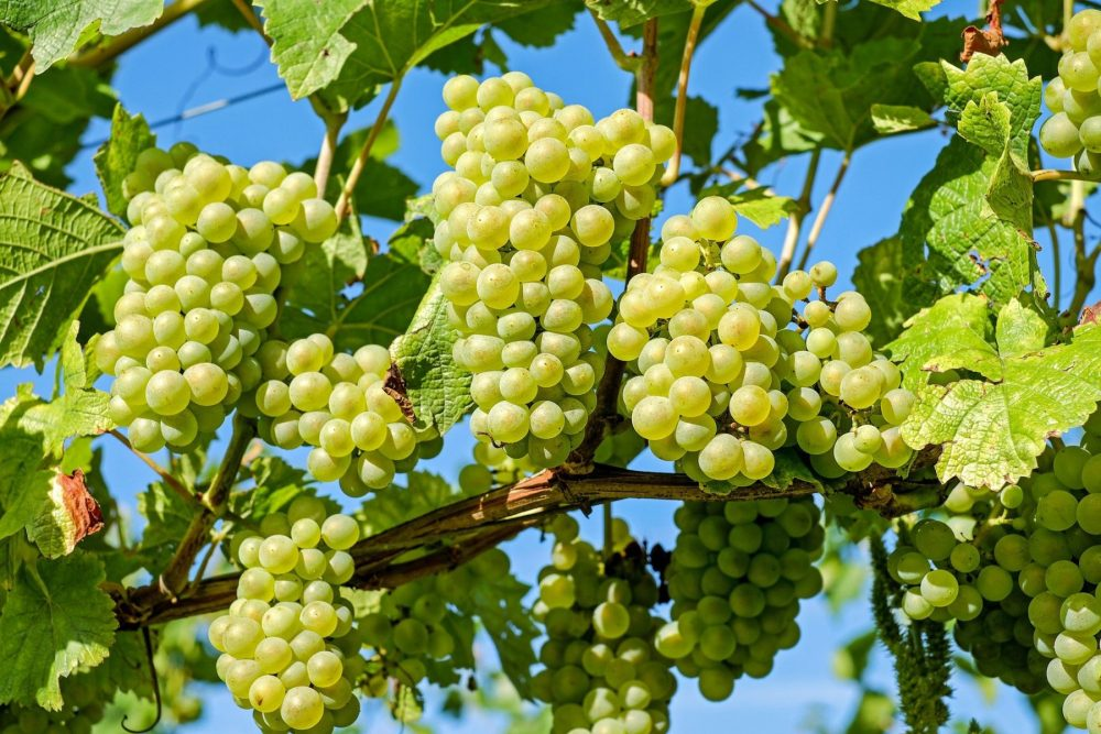 Bunches of green grapes on a vine in the daytime.