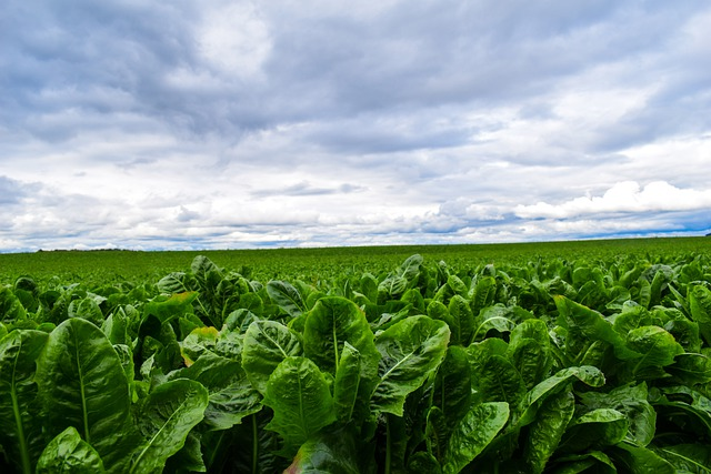 Growing romaine lettuce in a field.