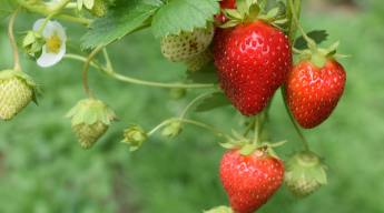 Strawberries growing without weeds