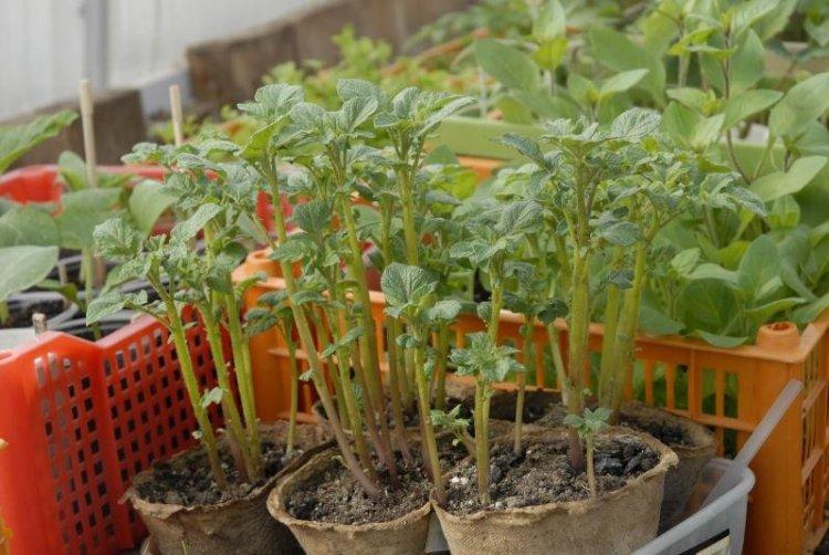 Клубни картофеля выращенные из семян