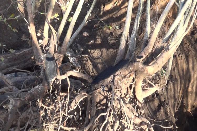 Посадка черноплодной рябинв