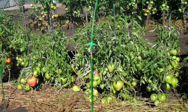 Детерминантный сорт помидор